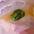 Frog And Rose Photo 2 by Cheryl Hoyle