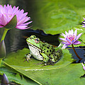 Frog And Water Lilies by Diana Haronis