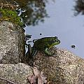 Frog At Edge Of Pond by Holly Eads