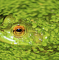Frog In Single Celled Algae by Optical Playground By MP Ray