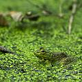 Frog In Swamp 2 Of 3 by Brad Marzolf Photography