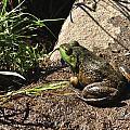 American Bull Frog by J Scott Davidson