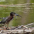 Frog Legs And Green Heron by Edward Peterson