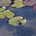 Frog On A Lilypad by Lorrie M Nelson