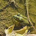 Frog Thinks He's Hidden Under A Twig by Allen Sheffield