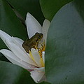 Frog Tucked In A Water Lily by Holly Eads