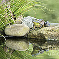 Bull Frog On A Rock by Linda D Lester