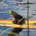 Froggy Reflections by Maria Urso