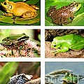 Frogs - Boxed Cards by Laurel Talabere