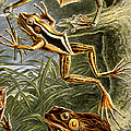 Frogs Detail by Unknown