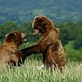 Frolicking Grizzly Bears by Patricia Twardzik