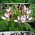 From Bud To Bloom - Cleome Named Pink Queen by J McCombie