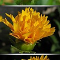 From Bud To Bloom - Coreopsis Named Early Sunrise by J McCombie