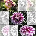 From Bud To Bloom - Dahlia Named Brian Ray by J McCombie