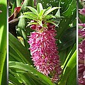 From Bud To Bloom - Eucomis Named Leia by J McCombie