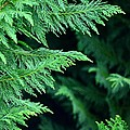 Fronds Of The Leyland Cypress by Maria Urso
