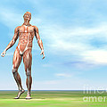 Front View Of Male Musculature Walking by Elena Duvernay