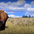 Frontview Of American Bison by Lisa Holland-Gillem