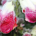 Frost Bears Down On Snapdragon Named Floral Showers Red And Yellow Bicolour by J McCombie