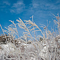 Frost Covered Grasses Against The Sky by Cascade Colors