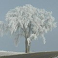 Frost Covered Lone Tree by Penny Meyers
