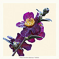 Frost On Camellia Sasanqua 'yuletide' by Saxon Holt
