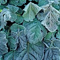 Frost On Francoa Sonchifolia by Geoff Kidd/science Photo Library