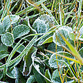 Frost On Strawberry Leaves by Crystal Heitzman Renskers
