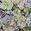 Frost On Waldsteinia Leaves. by Geoff Kidd