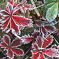 Frost On Wild Strawberry by Rich Franco