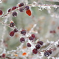 Frosted Berries by Jan Scholke
