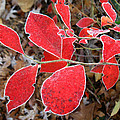 Frosted Blueberry Leaves by William Tanneberger