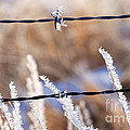 Frosted Fence Line by Jim Garrison