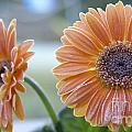 Frosted Gerberas by SAJE Photography
