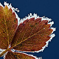 Frosted Leaf by Donna Doherty