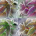 Frosted Maple Leaves In Warm Shades by J McCombie