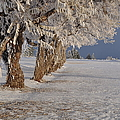 Frosted Trees by Fran Riley