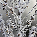 Frosty Field Plant by Carolyn Fletcher