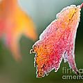 Frosty Leaf by Kerri Farley