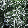 Frosty Leaves Macro by Elena Elisseeva