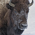 Frosty Morning Bison by Elaine Haberland