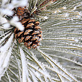Frosty Norway Pine by Penny Meyers