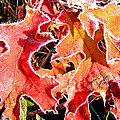 Frosty Oak Leaves by Duane McCullough