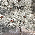 Frosty Pinetree by Steven Parker