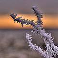 Frosty The Twig  by Rob Hawkins