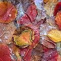 Frozen Autumn Aspen Leaves by Tim Fitzharris