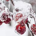 Frozen Crab Apples On Snowy Branch by Elena Elisseeva