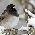 Frozen Junco by Inge Riis McDonald