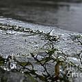 Frozen Milfoil by Susan Herber