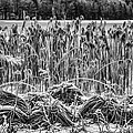 Frozen Reeds by Christine Czernin-Morzin